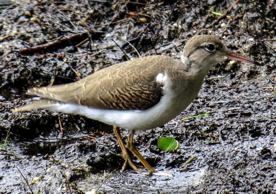 3. Unknown Shorebird