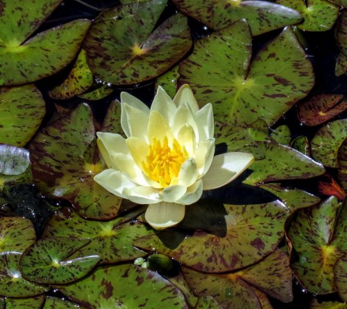 3. Water Lily