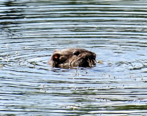 4. Otter