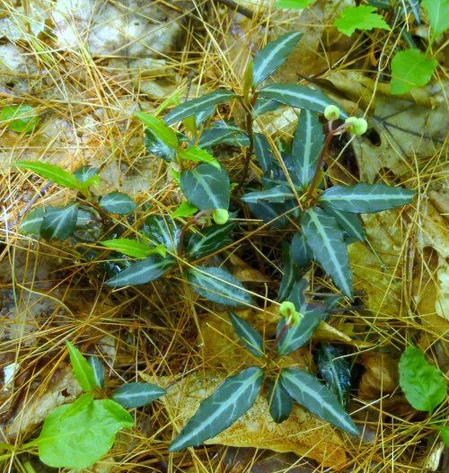 4. Striped Wintergreen