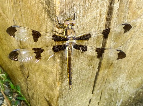 5. 12 Spotted Skimmer