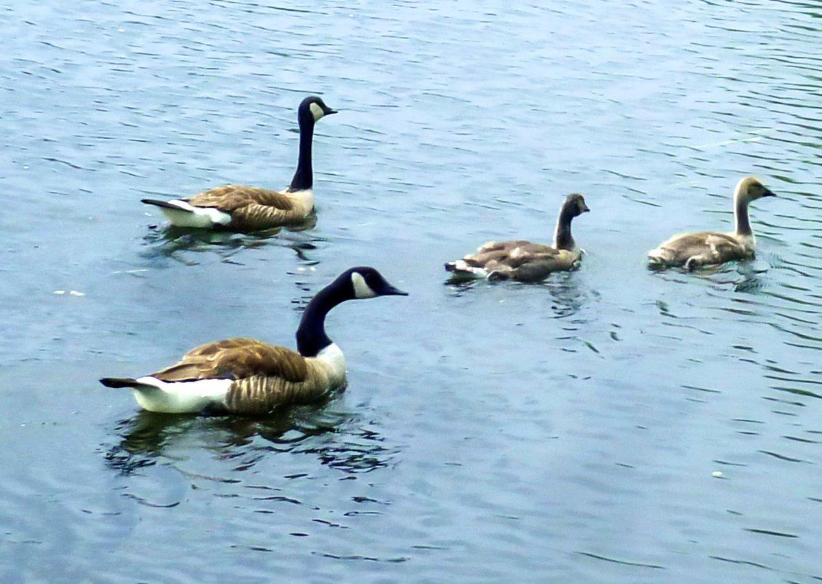 5. Goose Family