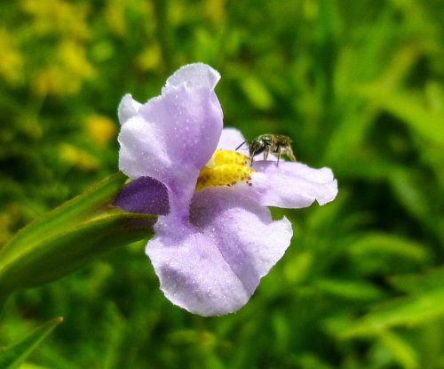 5. Monkey Flower