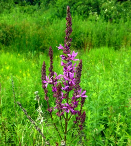 5. Purple Loosestrife