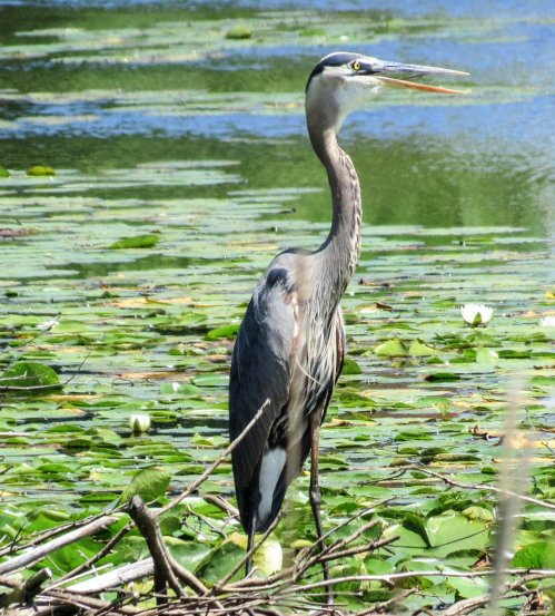 6. Great Blue Heron