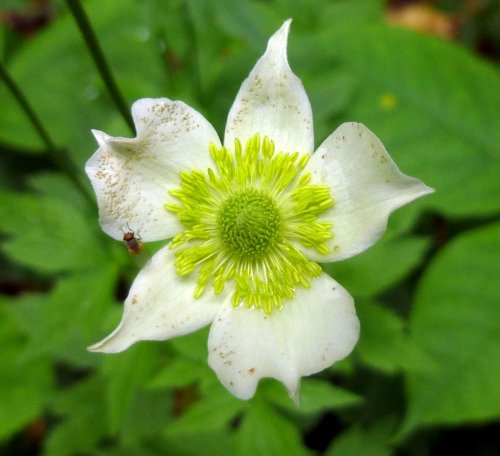 6. Thimbleweed