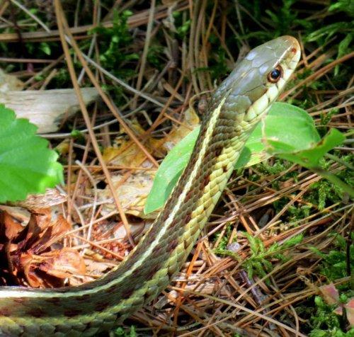 7. Garter Snake