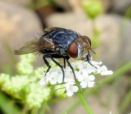 8. Tachinid Fly
