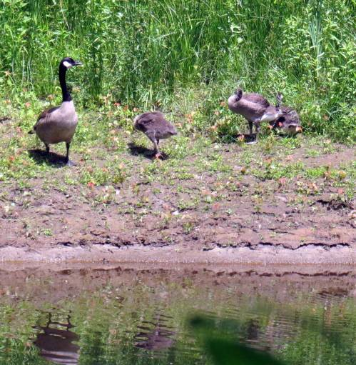 9. Canada Geese