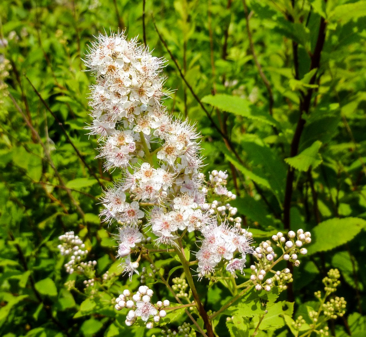 Native Phlox New Hampshire Garden Solutions