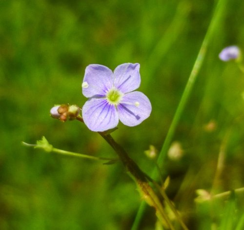 9. Narrow Leaved Speedwell