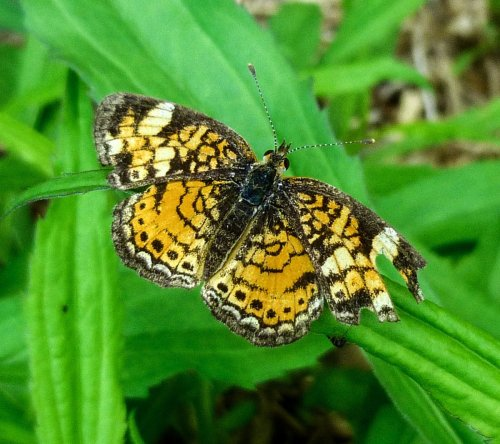 1. Pearl Crescent Butterfly