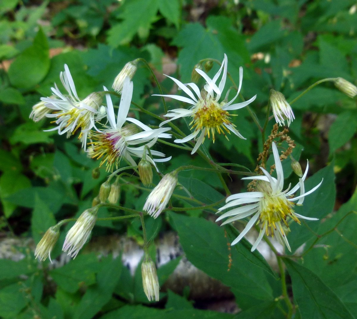 Early august flowers new hampshire garden solutions 1 whorled wood aster mightylinksfo