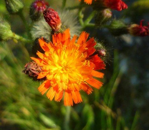 10. Orange Hawkweed
