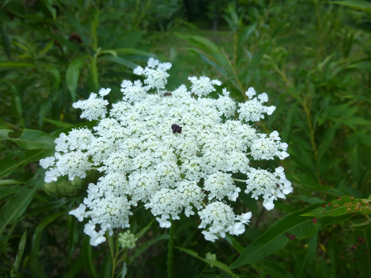 10. Queen Anne's Lace