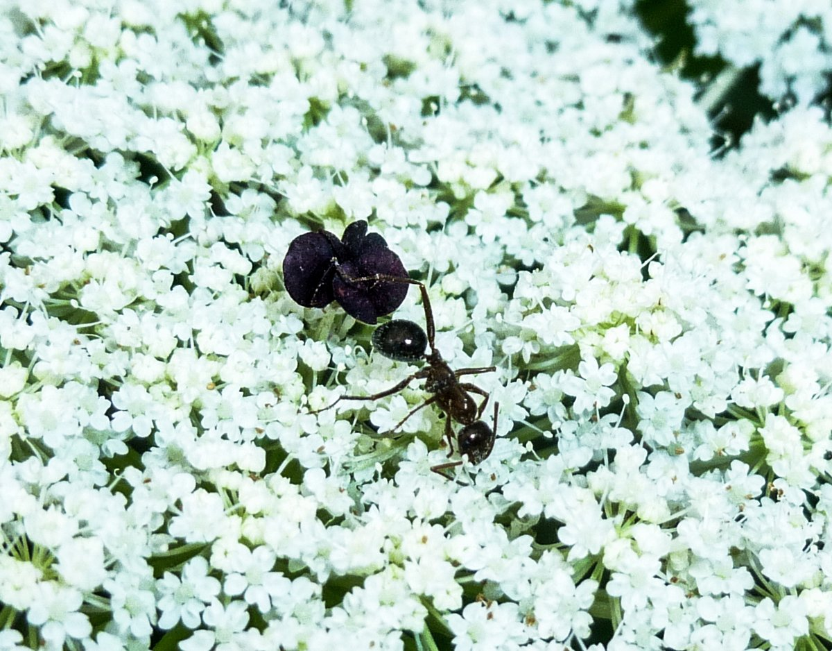 11. Queen Anne's Lace