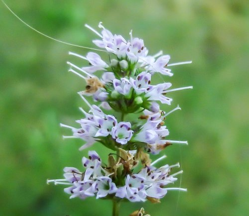 12. Spear Mint aka Mentha spicata
