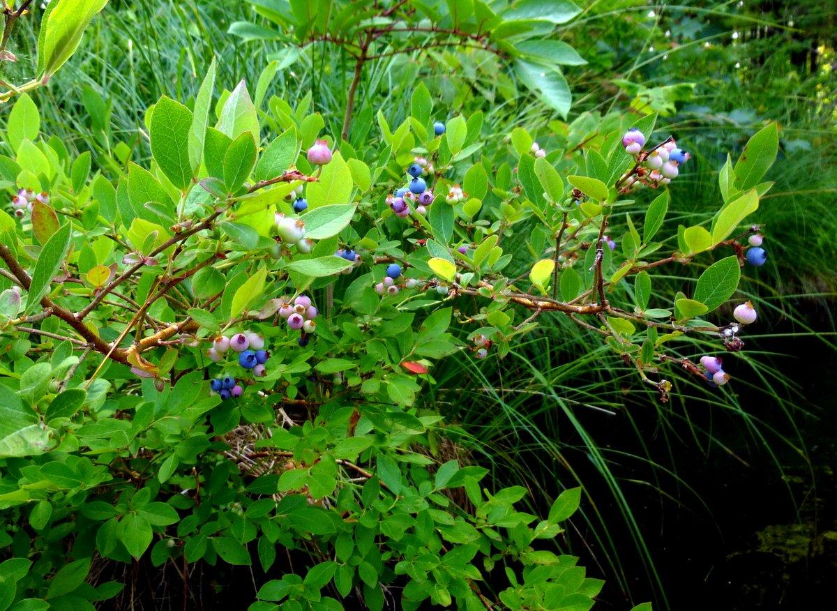 13. Blueberries