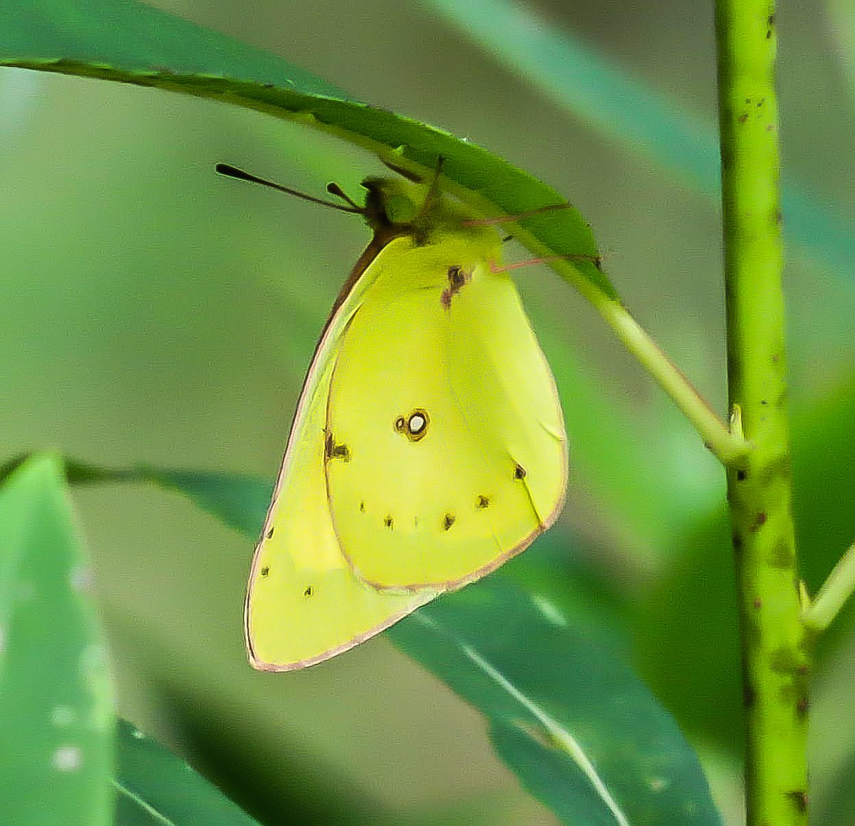 14. Clouded Sulfur Butterfly