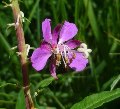 14. Fireweed