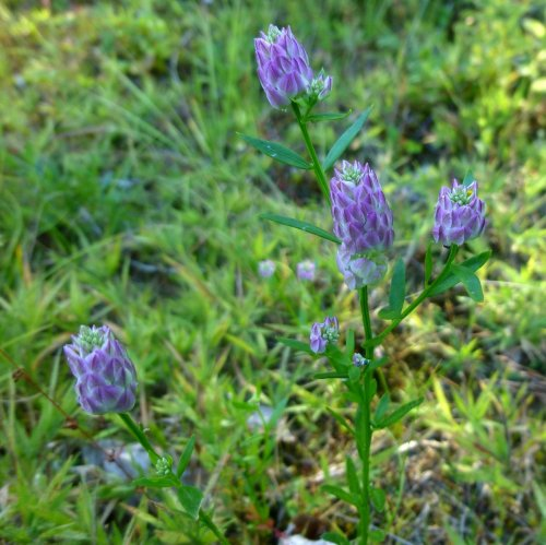 16. Purple Milkwort