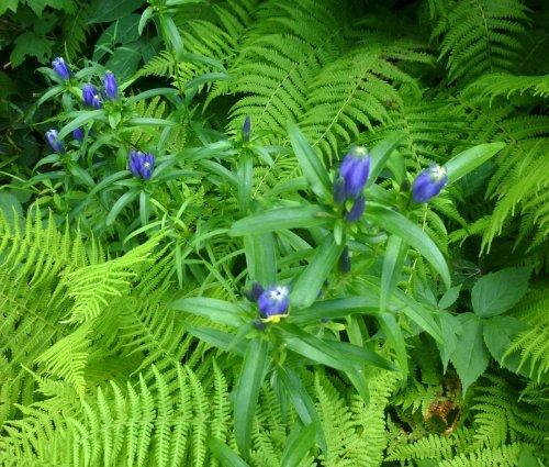 17. Narrow Leaved Gentian