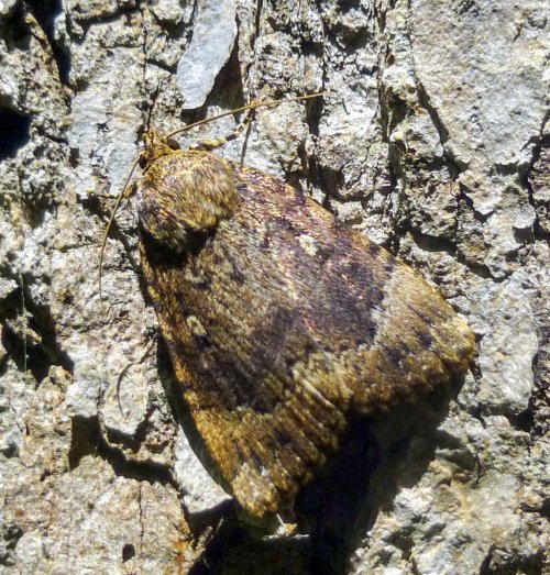 18. Looper Moth