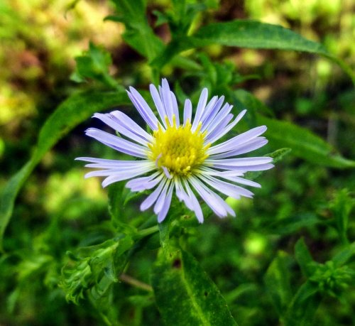 2. Aster