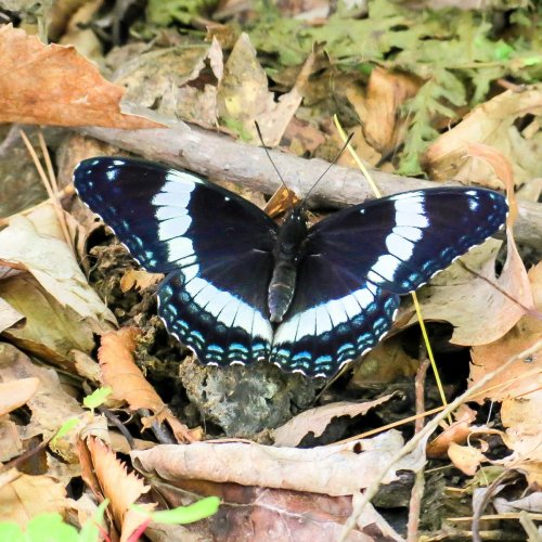 2. White Admiral Butterfly