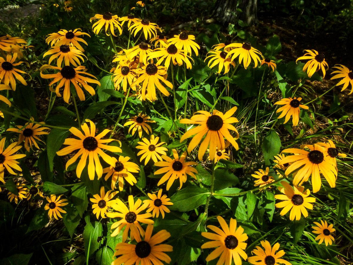 3. Black Eyed Susans