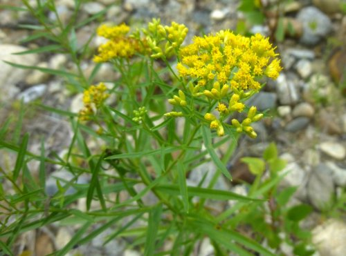 4. Slender Fragrant Golden Rod