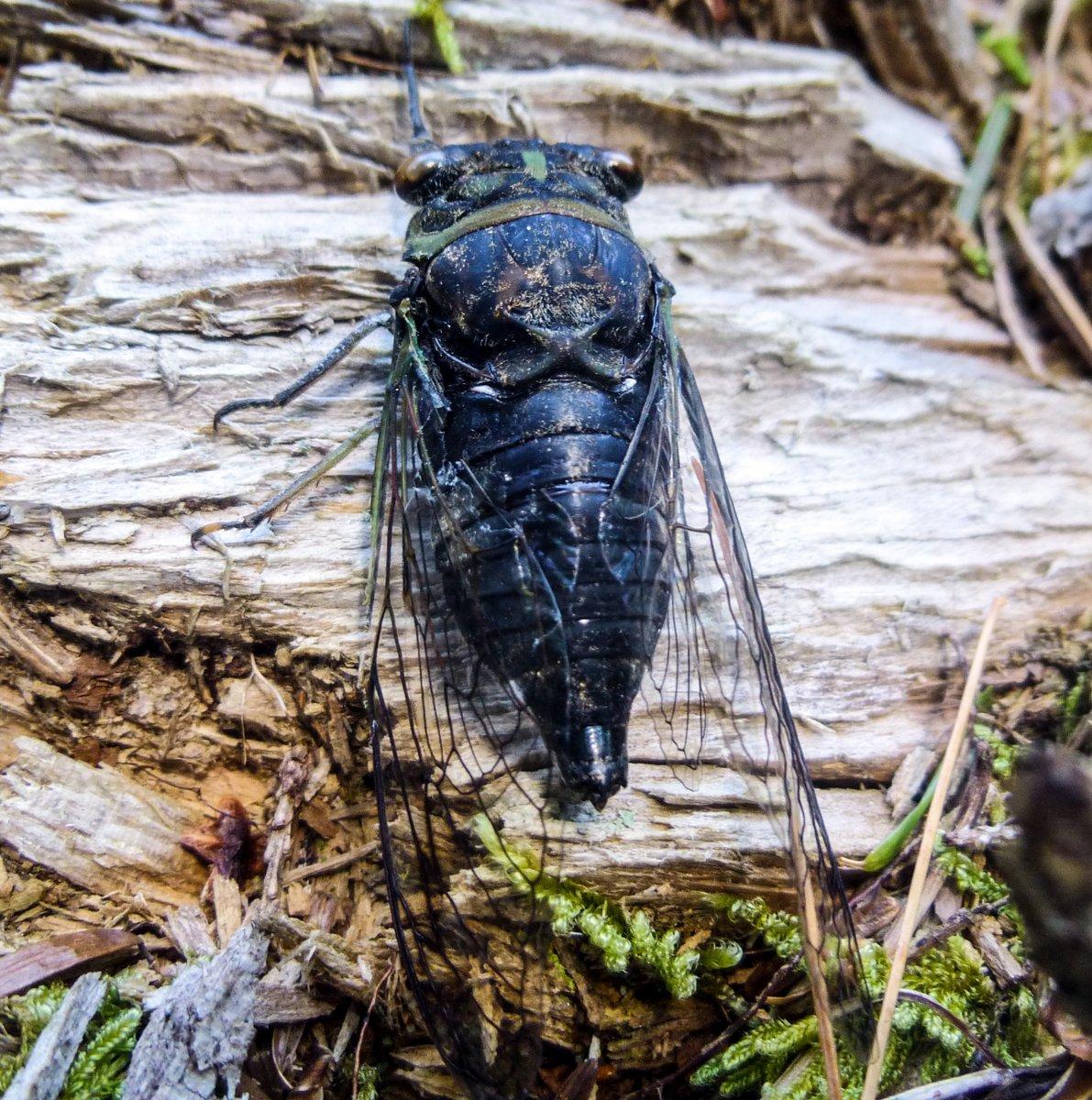 6. Cicada