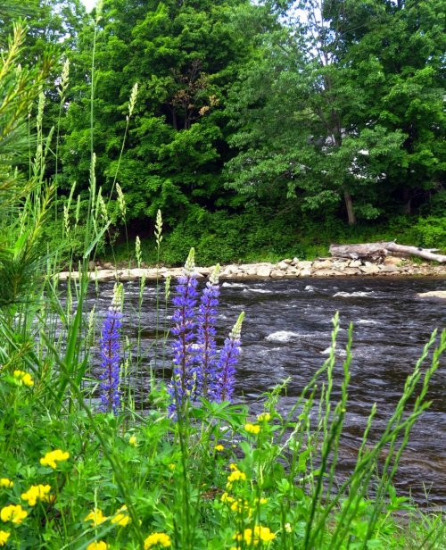 8. Ashuelot Wildflowers