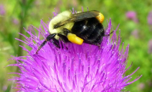 8. Bee on Thistle