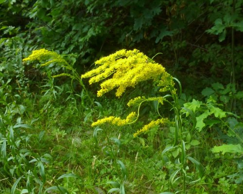 8. Gray Goldenrod