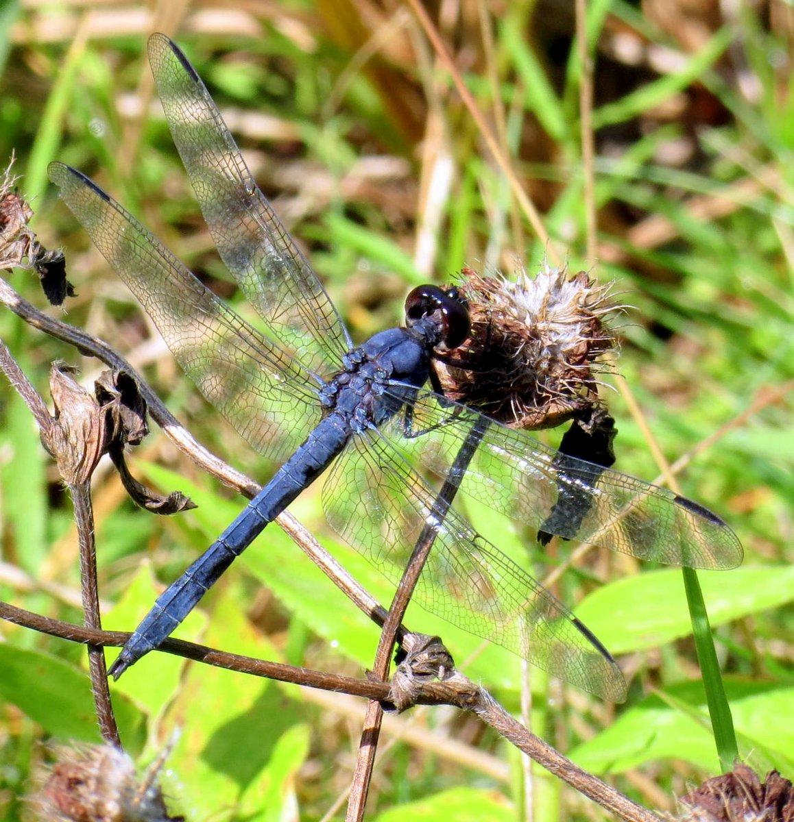 1. Blue Dragonfly