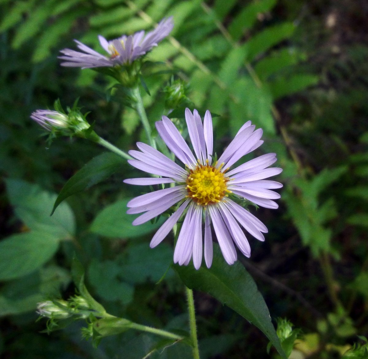 Early september flowers new hampshire garden solutions there are many flowers that bloom in september but most just whisper of the passing of seasons new england asters shout that september has arrived mightylinksfo