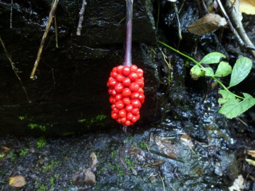 11. Jack in the Pulpit