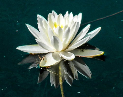11. White Waterlily