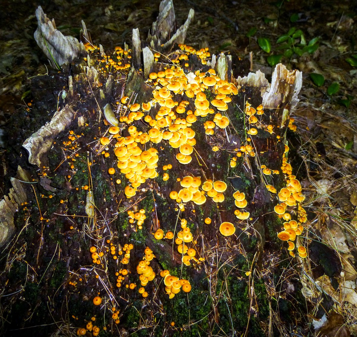 12. Orange Xeromphalina kauffmanii Mushrooms