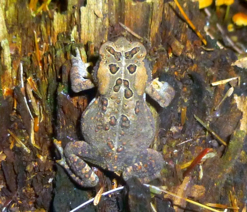 14. American Toad