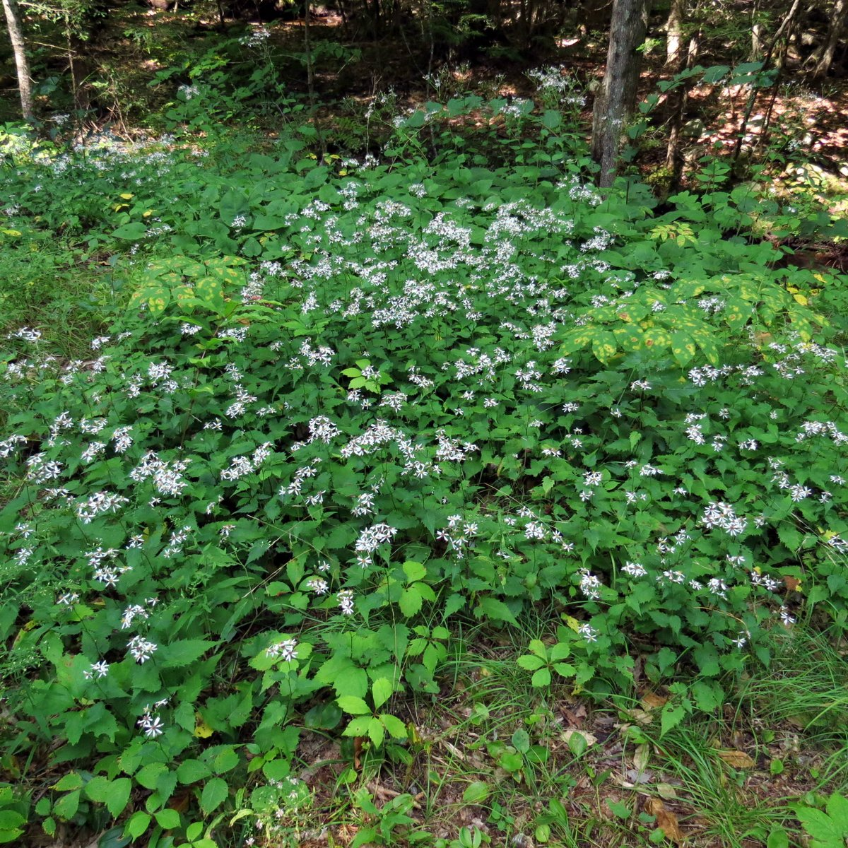 14. White Wood Aster aka Aster divaricatus