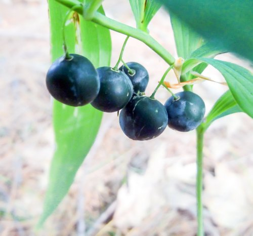 15. Solomon's Seal Berries