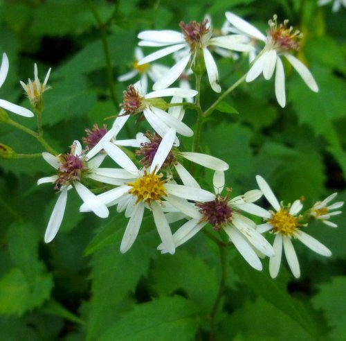 15. White Wood Aster aka Aster divaricatus