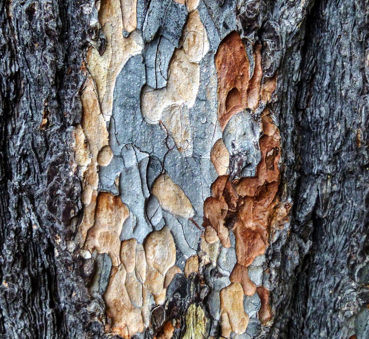 17. White Pine Bark