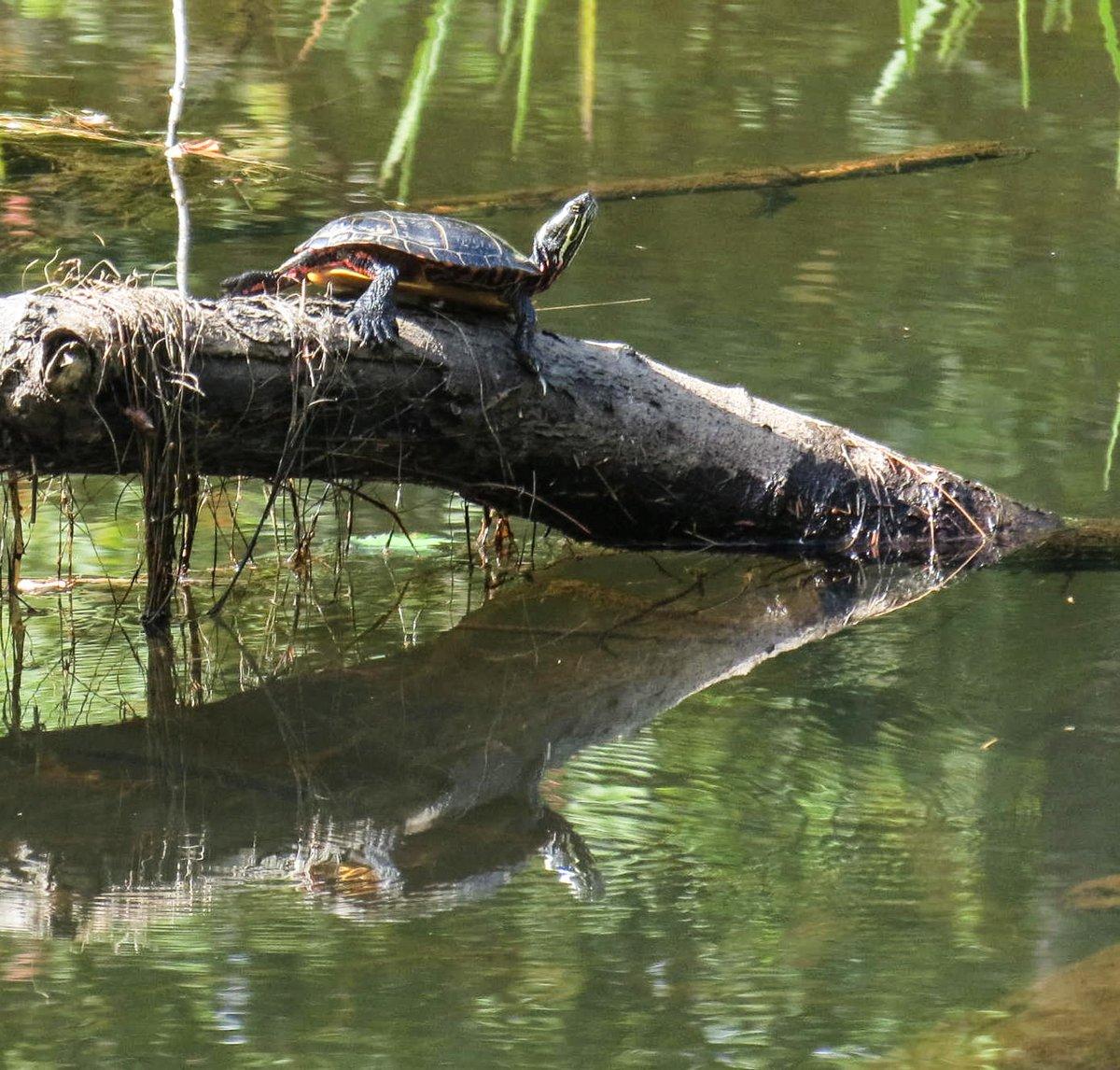 2. Painted Turtle