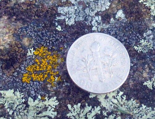 20. Goldspeck Lichen