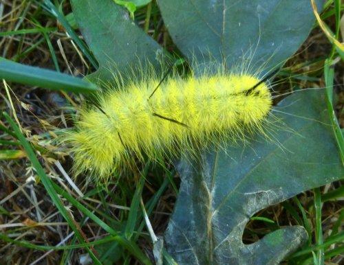 3. American Dagger Moth Caterpillar