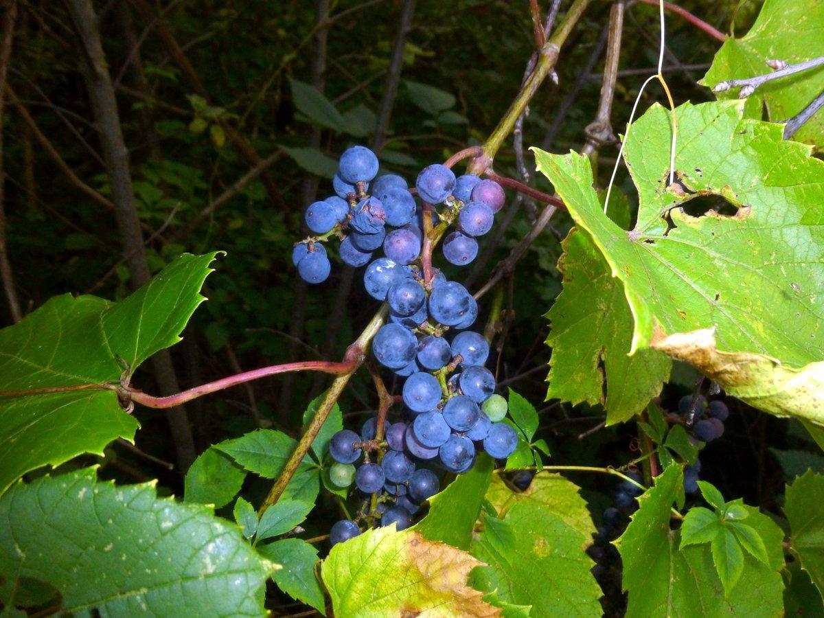 3. Riverbank Grape