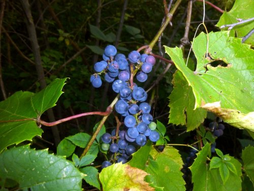 3. Riverbank Grape